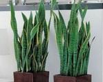 Nếu vẫn đang đặt những loại cây này trong nhà thì phải bê ra ngay trước thềm giao thừa kẻo năm mới hao tài, tán lộc