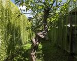 Ngôi nhà 1 tầng mát mẻ quanh năm nhờ cây xanh phủ khắp lối