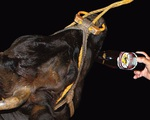 Trang trại cho bò uống bia