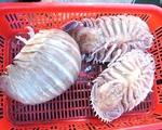 Loài bọ biển ngon hơn cả tôm hùm, đắt xắt ra miếng