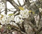 Lạc vào 'rừng hoa lê' giá hàng triệu đồng một cành giữa lòng Hà Nội