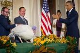 """Lệnh """"ân xá"""" hai gà tây của tổng thống Obama"""