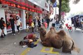 Trung Quốc: Cắt cụt 4 chân lạc đà làm công cụ ăn xin