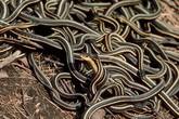 Kinh hoàng phát hiện 102 con rắn ngay trong nhà