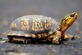 Giấu 51 con rùa quý trong đũng quần để vượt biên
