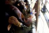 Kinh hãi bơm nước tăng trọng cho bò