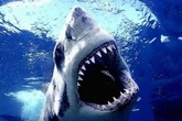 Kinh hoàng phát hiện đầu người trong bụng cá mập hổ