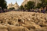 Cận cảnh 2.000 chú cừu chen kín nhau diễu hành trên phố ở Tây Ban Nha