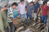 Đổ xô đi xem nấm linh chi nặng 220 kg