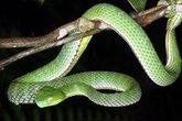 """Trồng sả, rắc bột lưu huỳnh quanh nhà để """"đuổi"""" rắn lục đuôi đỏ"""