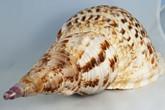 Loại ốc biển nào gây ngộ độc?