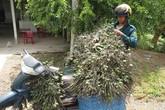 Trèo cau: Công việc hái ra tiền