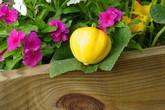 Bí đao chanh siêu lạ hợp trồng sân vườn chật