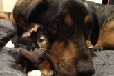 Câu chuyện cảm động về mèo chung tình với chó khiến nhiều người rơi lệ