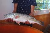 Vớ bở câu được cá sú vàng nửa tỉ