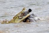 Kinh hãi chứng kiến đàn cá sấu ăn thịt người
