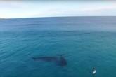 Kinh sợ cá voi khổng lồ theo dõi người lướt sóng