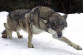 Hiện trường khủng khiếp người phụ nữ bị chó sói ăn thịt