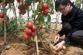 Kỳ lạ giống cây dưới cho khoai tây, trên ra quả cà chua
