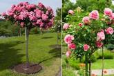 Hoa hồng tree rose giá đắt bỏng tay có gì lạ?