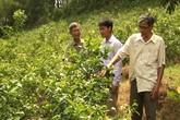 Trồng cây xạ đen: Thương lái vào tận vườn thu mua