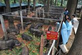 Chiêm ngưỡng trang trại lợn rừng hữu cơ độc đáo ở Việt Nam