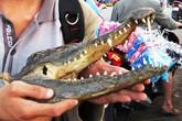 Tràn lan thịt cá sấu lề đường