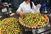 Mận Tàu đột lốt Sapa: Hà thành đua nhau ăn quả lừa