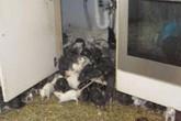 Kinh hoàng phát hiện 300 con chuột trong căn hộ 2 phòng