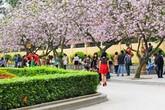 Hoa ban đẹp nao lòng, giới trẻ Hà Thành nô nức chụp hình