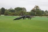 """Kinh hoàng phát hiện cá sấu """"khủng"""" tung tăng trong sân golf"""