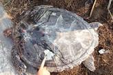 Rùa biển quý hiếm lạc vào hồ nuôi tôm của dân