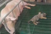 Ngộ nghĩnh cảnh hổ bú lợn ở vườn thú cuốn hút người xem