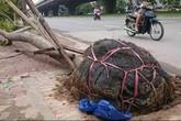 Xử lý đơn vị sai phạm vụ cây bật gốc lộ bầu đất bọc nilon