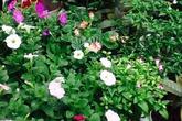 Ghen tị vườn ban công 30m² của cô giáo nghỉ hưu