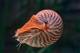 Loài ốc biển giá trăm triệu được đại gia săn lùng