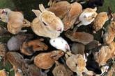 Hòn đảo bí ẩn là thiên đường của loài thỏ