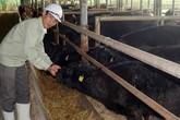 Trại bò Kobe đầu tiên ở Việt Nam