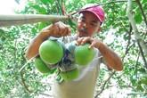 Vườn bưởi hồ lô chưng Tết 10 triệu đồng 4 quả ở Đồng Nai