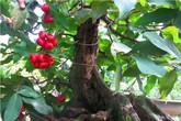 Cây độc chưng Tết: Kiểng trái trồng chậu vừa ngắm, vừa ăn