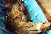Một giờ vây bắt cá sấu dài 2,2 m trong vuông tôm