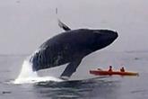 Kinh hoàng cá voi 40 tấn bổ nhào xuống hai người bơi thuyền