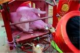 Sẽ rước lợn thay vì chém lợn