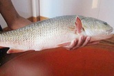 Vì sao cá sủ vàng có giá tiền tỉ?