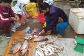 Lập lờ cá sông thành cá suối Sa Pa: Người mua mất tiền oan