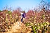 Nắng ấm, người trồng đào lo mất Tết
