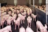 Sử dụng chất tạo nạc trong chăn nuôi heo: Đưa ra tòa là...quá khó!