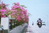Hoa giấy đẹp rực rỡ trên cầu Bắc Hưng Hải khiến giới trẻ mê mẩn