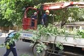 Chặt bỏ hơn 3.000 cây hoa sữa vì mùi hương nồng nặc
