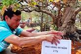 Mai vàng 99 tuổi, rễ xoắn vắt áo giá 2 tỷ ở Sài Gòn